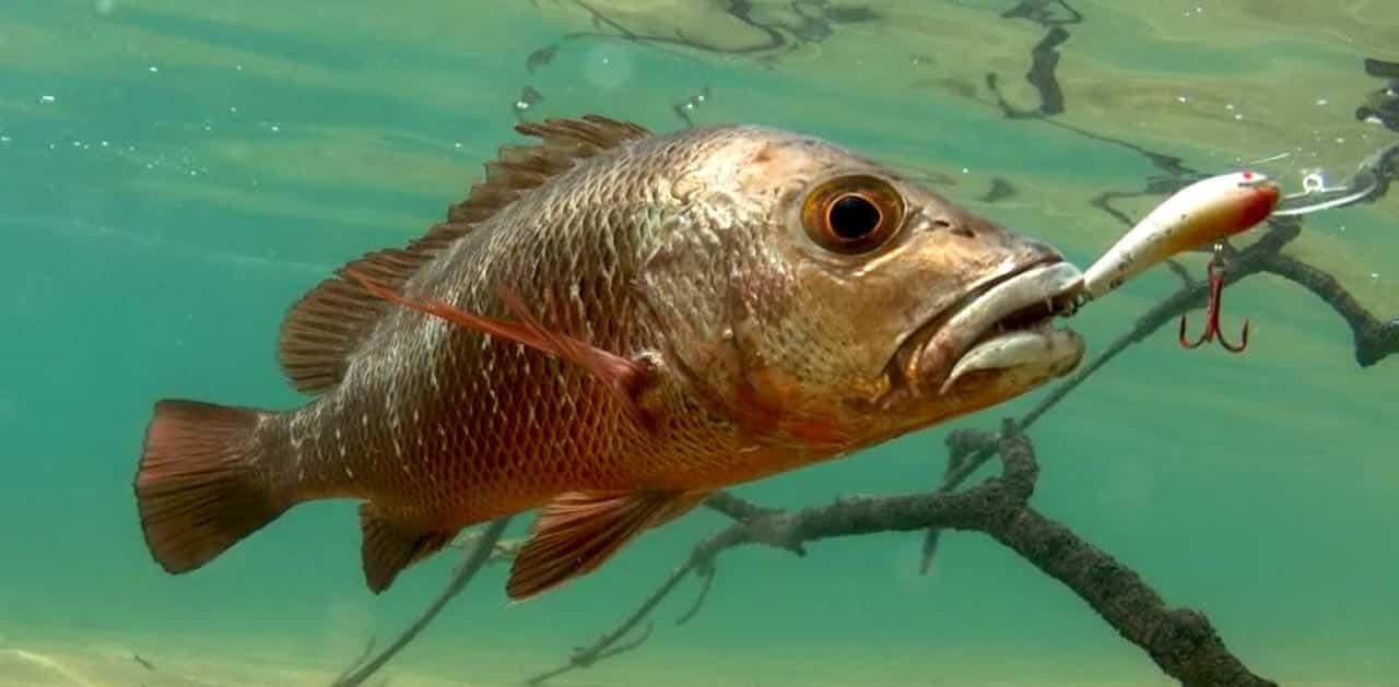 Tips Sukses Menaklukkan Ikan Mangrove Jack Mancing Mania