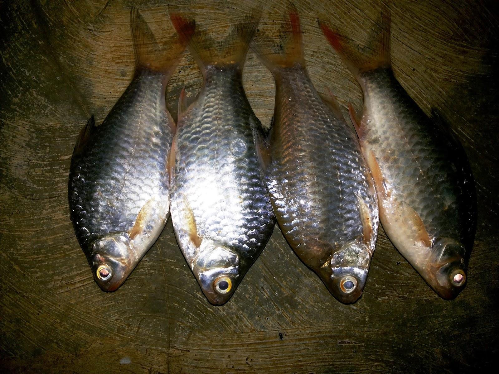 Tekhnik Dan Rangkaian Pancing Untuk Berburu Ikan Tawes